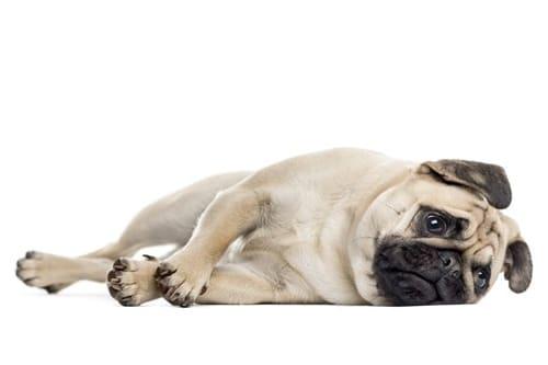 Pug deitado