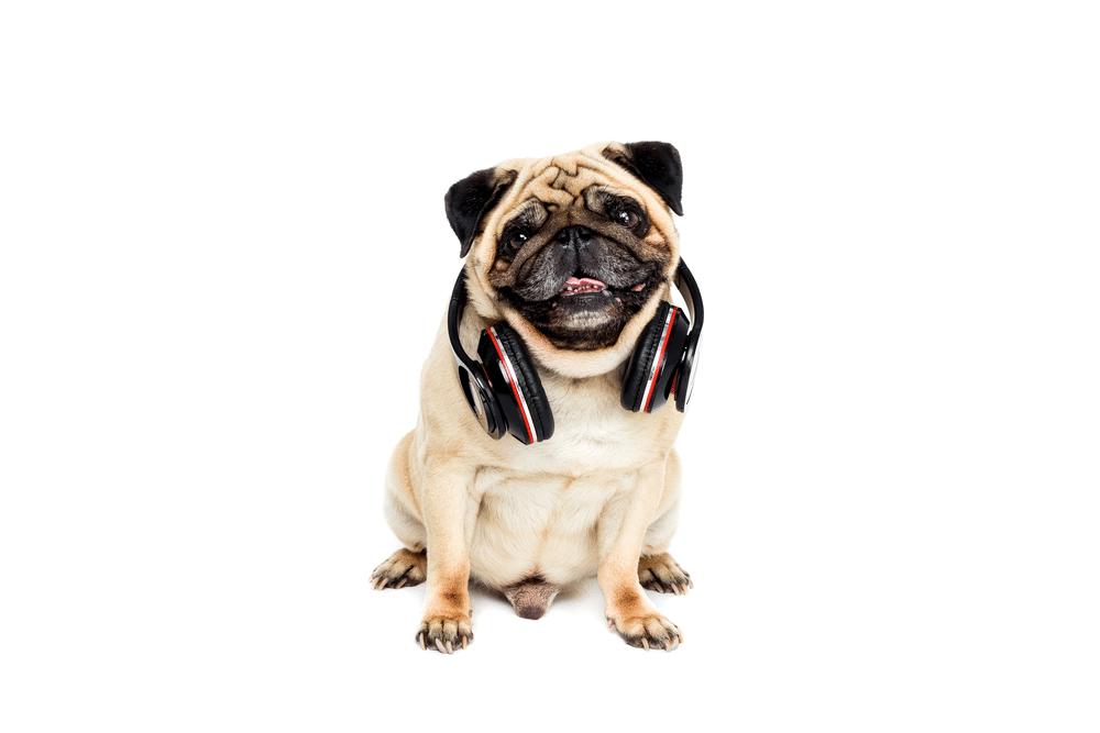 Nomes para pug macho: pug com headphone