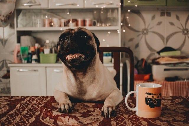 7 dicas para manter a alimentação do seu Pug saudável