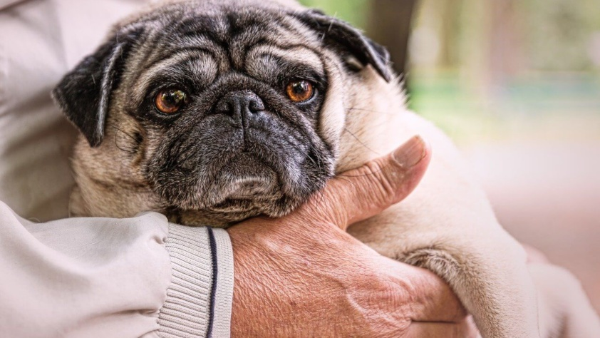 Cachorro pug idoso no colo de uma pessoa